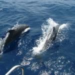 delfinek Horvát tengerpart